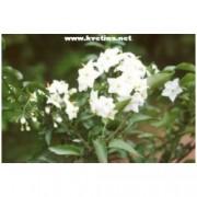 Solanum jasminoides - Převislý lilek ( jasmín )