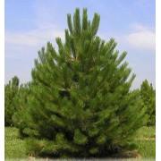 Osztrák feketefenyő / Pinus nigra 'Austriaca' - 150-175