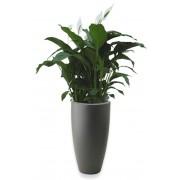 Warentuin Natuurlijk Lepelplant Spathiphyllum 90 cm in vaas Pure Soft Round high 35 antractiet Elho 3 planten