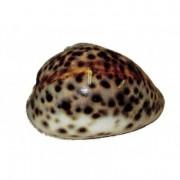 Coquillage Tigrine 7 à 10 cm