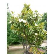 Galissoniere örökzöld liliomfa / Magnolia grandiflora 'Galissoniere' - 200-250