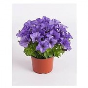Flower Seeds : Petunia Nana Compacta Royal Blue Flower Seed Growing Seeds For Poly Grow Bags (25 Packets) Garden Plant Seeds By Creative Farmer
