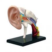 4 D Vision Human Anatomy Ear Anatomy Model