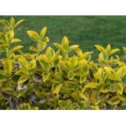 Aranytarka kúszó kecskerágó / Euonymus fortunei 'Emerald'n Gold'