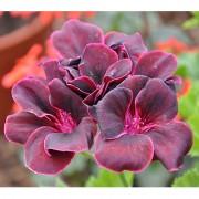 Futaba Dark Red Geranium Pelargonium Seeds - 50 Pcs