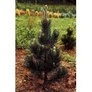 Bergden Pinus mugo 'Pal Maleter'