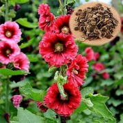 Flower Seeds : Hollyhocks Powderpuff Double Mixed Garden Seeds Flowers Flowering Plants Seeds Garden Home Garden Seeds Eco Pack Plant Seeds By Creative Farmer