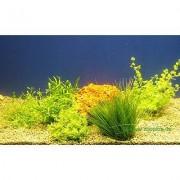 Aquariaplanten Voorgrond Assortiment - 5 Topplanten