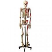 modello scheletro umano muscolare - altezza 170cm