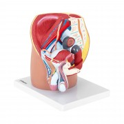 Pelvis Model - male - separable into 4 parts - life-sized
