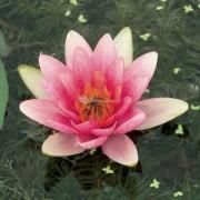 Moerings waterplanten Roze waterlelie (Nymphaea Laydekeri Lilacea) waterlelie - 6 stuks