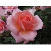 Trandafir Mondial (Theahibrid, 45-100 cm) - 10 bucati