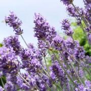 CJ Wildlife Lavendel