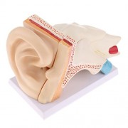 Phenovo 6 Times Enlarged Ear Anatomy Model with Stand Human Organ Statue Students Learning School Lab Supplies