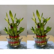 2 Layer Lucky Bamboo Plant (Set of 2 PCS)
