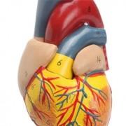 Generic Anatomical Human Life Size Heart Model - Medical Cardiovascular Anatomy