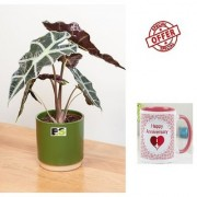 ES An Alocasia Plant HYBRIDE NATURAL LIVE With Gift Anniversary Gift Mug