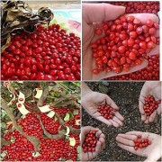 Tree Seeds Red Lucky Seed Ornamental Decorative Beed Seeds For Growing 50 Seeds Herb Seeds For Shade Tree Tree Seeds Garden Pack By Creative Farmer