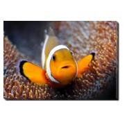 Tablou Canvas Clownfish