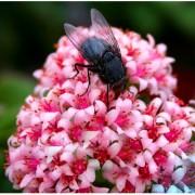 Futaba Bag Aurora ball Cactus Flower Seeds - Pink - 10 Pcs