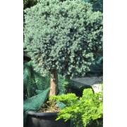 Blue Star nepáli törpe boróka / Juniperus squamata 'Blue Star' - magas törzsön