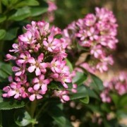 Escallonia 'Pink Elle' ® 20 - 40 cm in pot