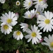 Veternica vznešená WHITE SPLENDOUR (Anemone blanda White Splendour)