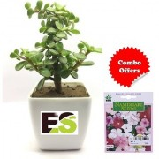 ES JADE PLANT WITH WHITE POT with Indica Hybrid Seeds