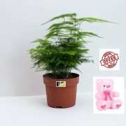 ES Asparagus Natural Live Plant WITH FREE COMBO GIFT - 6TEDDYBEAR-PINK