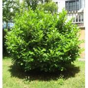 Babérmeggy / Prunus laurocerasus Sp. - 30-40