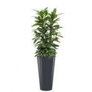 Ficus cyathistipula incl pot Style antraciet