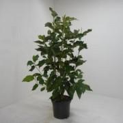 Plantenwinkel.nl Magnolia struik Heaven Scent - 125 - 150 cm - 4 stuks