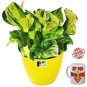 ES COMPACTE LUCKY MONEY PLANT NATURAL With Freebies Mug