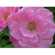 Rose - Simplicity Pink