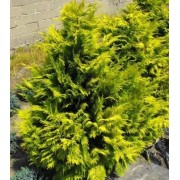 Chamaecyparis lawsoniana 'Golden Wonder' 60 - 80 cm