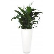 Warentuin Natuurlijk Lepelplant Spathiphyllum 90 cm in vaas Pure Straight Round high 50 wit Elho 3 planten