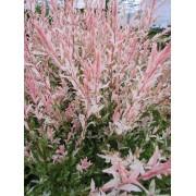 Bonte wilg Struikvorm Salix caprea 'Hakuro-nishiki'