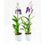 Orchidee Blue Happiness (per 2 stuks)