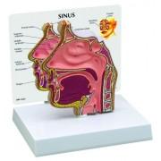 Basic Human Sinus Anatomy/Anatomical Model #2850