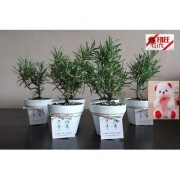 ES Bomboniere Rosemary PARTY GIFT PLANT COMBO OF 6 PCS WITH FREE COMBO GIFT - 6TEDDYBEAR