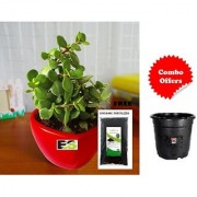 Natural Jade Plant in Red-Heart with Freebie