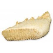 Asian Elephant Tooth (Teaching Quality Replica)