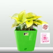 ES DECORATIVE YOLLOW HYBRID MONEY PLANT COMBO WITH FREE COMBO GIFT - 6 TEDDYBEAR-PINK