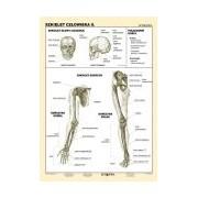 Szkielet człowieka II - plansza dydaktyczna