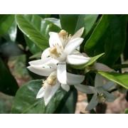 Chá Laranjeira Flor