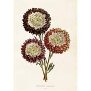Sköna Ting Poster Chrysanthemum