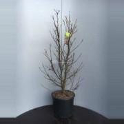 Plantenwinkel.nl Magnolia struik Susan - 90 - 110 cm - 4 stuks