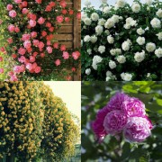Climbing Rose pink yellow red and white live plant