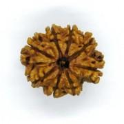 20.65mm 20mm 8 Mukhi Rudraksha 100% Natural Eight Face Rudraksha Nepal Bead Lab Certified by Ceylon Sapphire