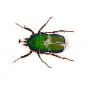 Insecte reale nr. 4 - Carabusul oriental
